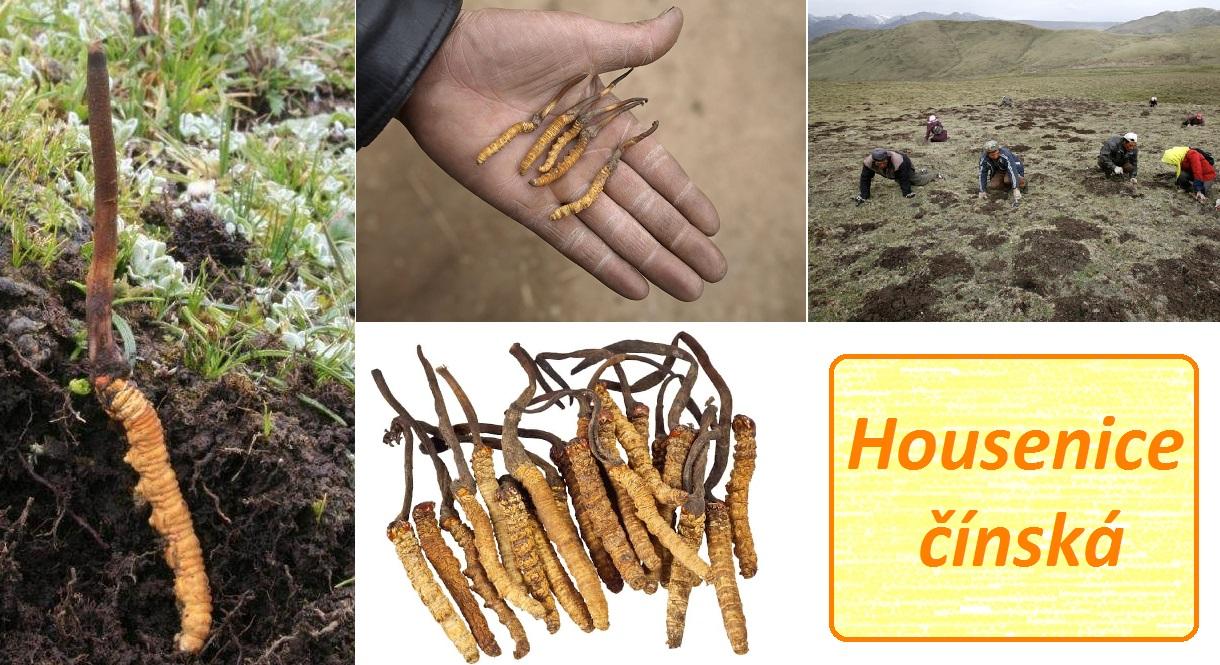 Housenice čínská - účinky na zdraví, co léčí, použití, užívání, využití,  pěstování - Bylinky pro všechny