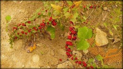 1436005985_bylina-s-plody-podobnymi-lesni-jahode-o-jakou-rostlinu-se-jedna.jpg