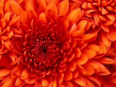 1447229458_chrysanthemum.jpg