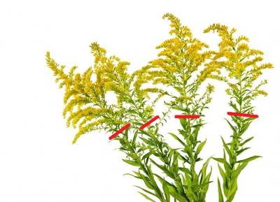 1471677428_zlatobyl-caj-kvet-list-nat.jpg