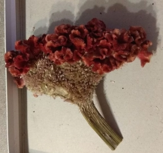 1523863183_neznama-rostlina-bylina-podobna-slunecnici-cervene-kvety.jpg