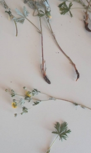 1525874322_poznavacka-neznama-rostlina-bylina.jpg