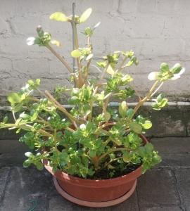 1528791780_neznama-rostlina-bylina-v-kvetinaci-srucha.jpg