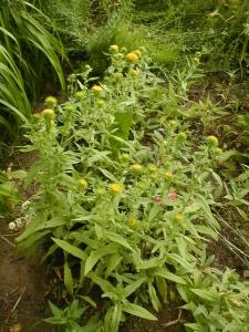1528807463_neznama-rostlina-bylina-yy.jpg
