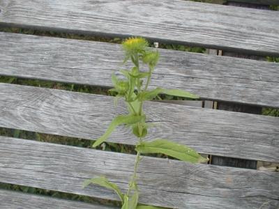 1528807463_neznama-rostlina-bylina-zz.jpg