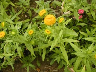 1528807464_neznama-rostlina-bylina-x.jpg