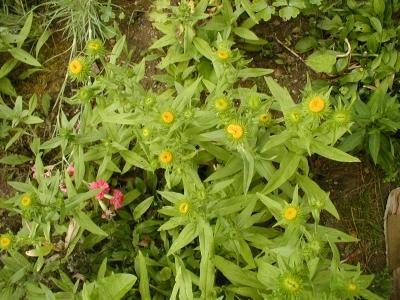 1528807464_neznama-rostlina-bylina-xx.jpg
