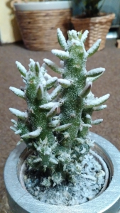 1528808068_rostlina-posypana-snehem-bila-plisen.jpg