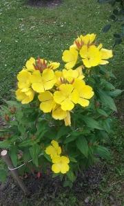 1528872788_neznama-rostlina-zlute-kvety-4-velke-okvetni-listky-2.jpg