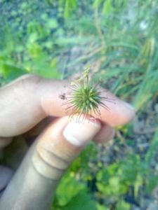 1529045202_neznama-rostlina-kuklik-mestsky.jpg