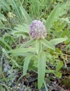 1529045465_botanicka-poradna-nezmama-rostlina-bylina_1.jpg