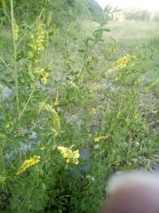 1529046849_botanicka-poradna-nezmama-rostlina-bylina-zlute-kvety_1.jpg