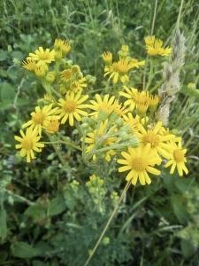 1529047385_botanicka-poradna-nezmama-rostlina-bylina-zlute-kvety-2_1.jpg