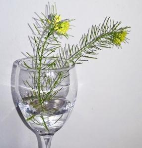 1529047614_botanicka-poznavacka-neznama-rostlina-zlute-soukveti-carkovity-tvar-listu.jpg
