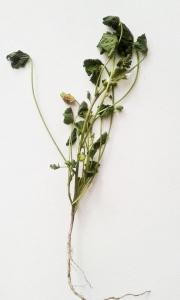 1529243549_rostlina-tvaruzky_1.jpg