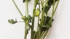1529243549_rostlina-tvaruzky_222.jpg