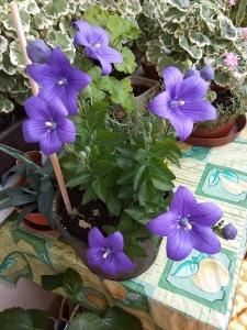 1529319083_neznama-rostlina-bylina-fialove-kvety-podobne-zvonku.jpg