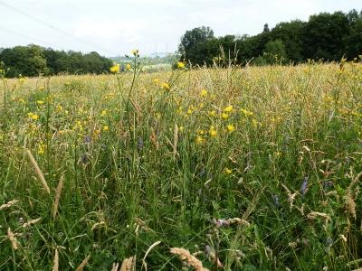 1529331178_neznama-rostlina-bylina-zluty-kvet_7.jpg