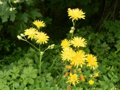 1529331179_neznama-rostlina-bylina-zluty-kvet_2.jpg