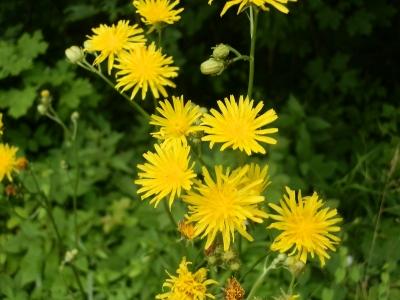 1529331179_neznama-rostlina-bylina-zluty-kvet_3.jpg