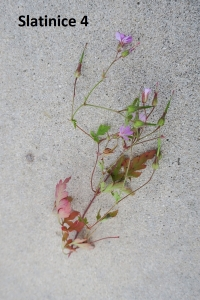 1529957223_botanicka-poradna-neznama-rostlina-foto-fotografie-04.jpg