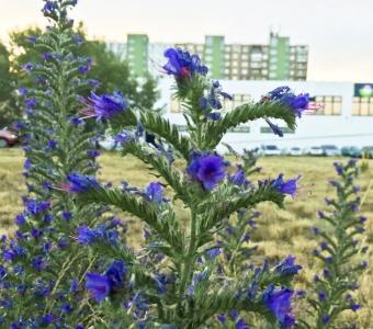 1530164037_neznama-rostlina-bylina-pichlave-listy-modrofialove-kvety_1.jpg