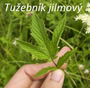 1531137297_tuzebenik-jilmovy-list.png