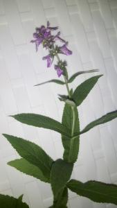 1533059533_neznama-rostlina-bylina-cistec-lesni_1.jpg