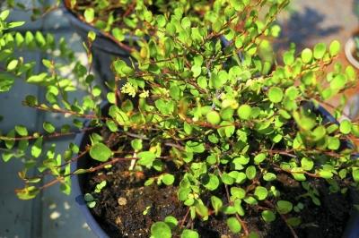 1534566735_neznama-rostlina-bylina-podobna-boruvce-poznavacka-identifikace.jpg