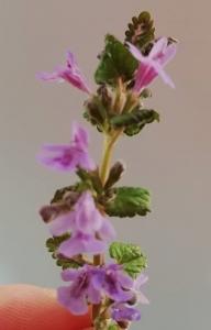 1554367572_neznama-rostlina-bylina-slez.jpg