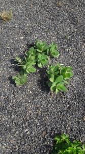 1554808253_neznama-leciva-rostlina-bylina-poznavacka-2.jpg