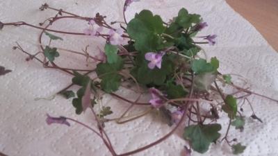 1554808253_neznama-leciva-rostlina-bylina-poznavacka.jpg
