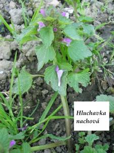 1554869601_hluchavka-nachova.jpg