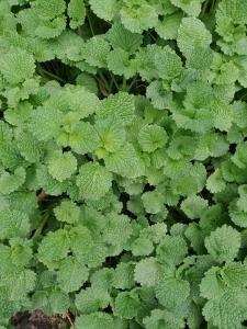 1555565458_neznama-rostlina-bylina-popenec.jpg