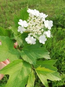 1558892559_nezmama-rostlina-hloh-obecny.jpg