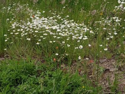 1560074737_neznama-rostlina-byliny-hermanek-3.jpg