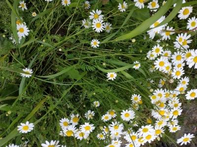 1560074737_neznama-rostlina-byliny-hermanek.jpg