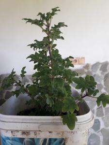 1561873114_neznama-rostlina-bylina-migrenovnik.jpg