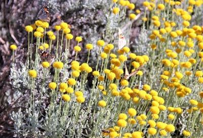 1562614869_nezmama-rostlina-se-zlutymi-kulatymi-kvety.jpg