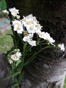 1562755765_neznama-bylina-s-bilymi-okvetnimi-listky-ovalneho-tvaru.jpg
