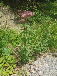 1563693566_neznama-rostlina-bylina-yyjpg.jpg