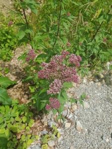 1563693567_neznama-rostlina-bylina-xx.jpg