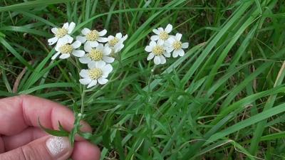 1564302091_neznama-rostlina-bylina-rebricek-bertram.jpg