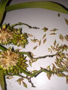 1568550376_neznama-rostlina-s-divnym-tvarem-plodu-2.jpg