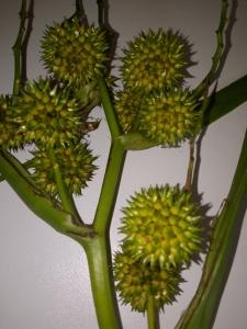 1568550376_neznama-rostlina-s-divnym-tvarem-plodu-3.jpg