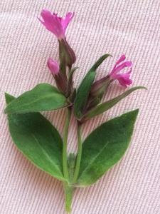 1587624339_neznama-rostlina-bylina-s-ruzovymi-okvetnimi-listky-2.jpg