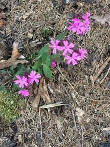 1587624339_neznama-rostlina-bylina-s-ruzovymi-okvetnimi-listky.jpg